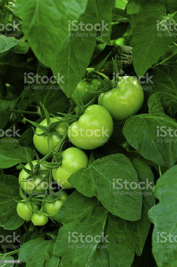 녹색 토마토 royalty-free 스톡 사진
