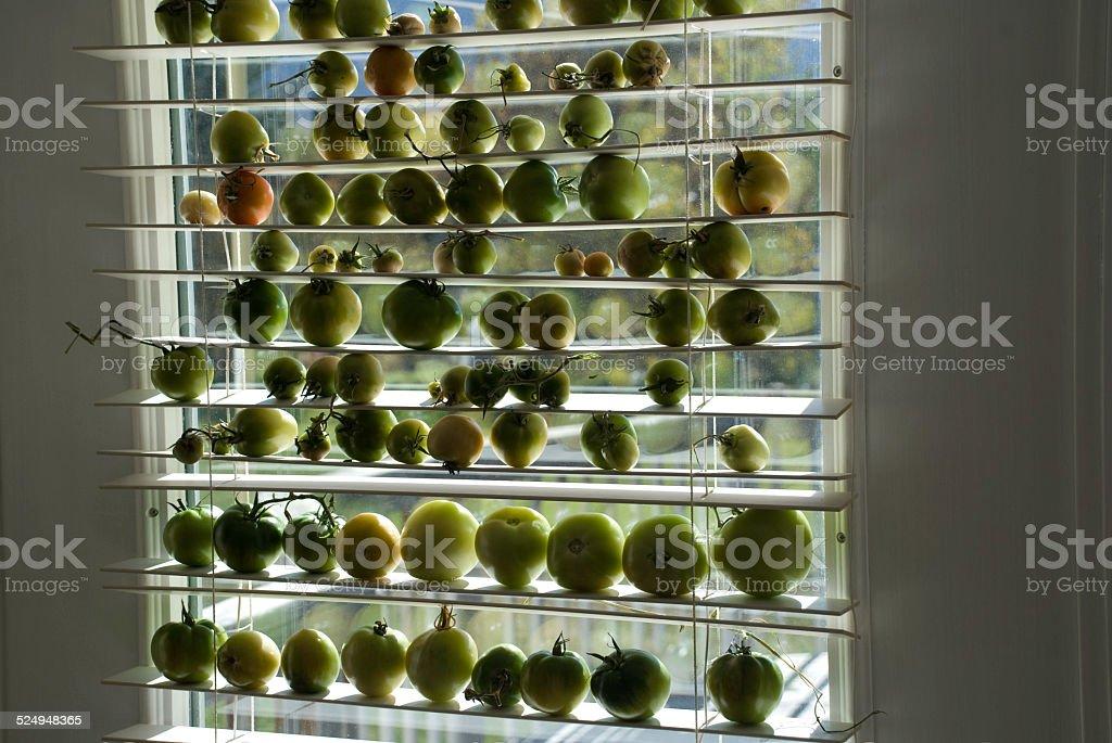 Tomate Verde seu amadurecimento no sol de Janela foto de stock royalty-free