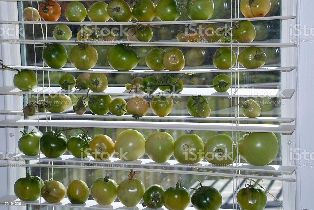 Tomate Verde seu amadurecimento no sol janela, retroiluminado foto de stock royalty-free