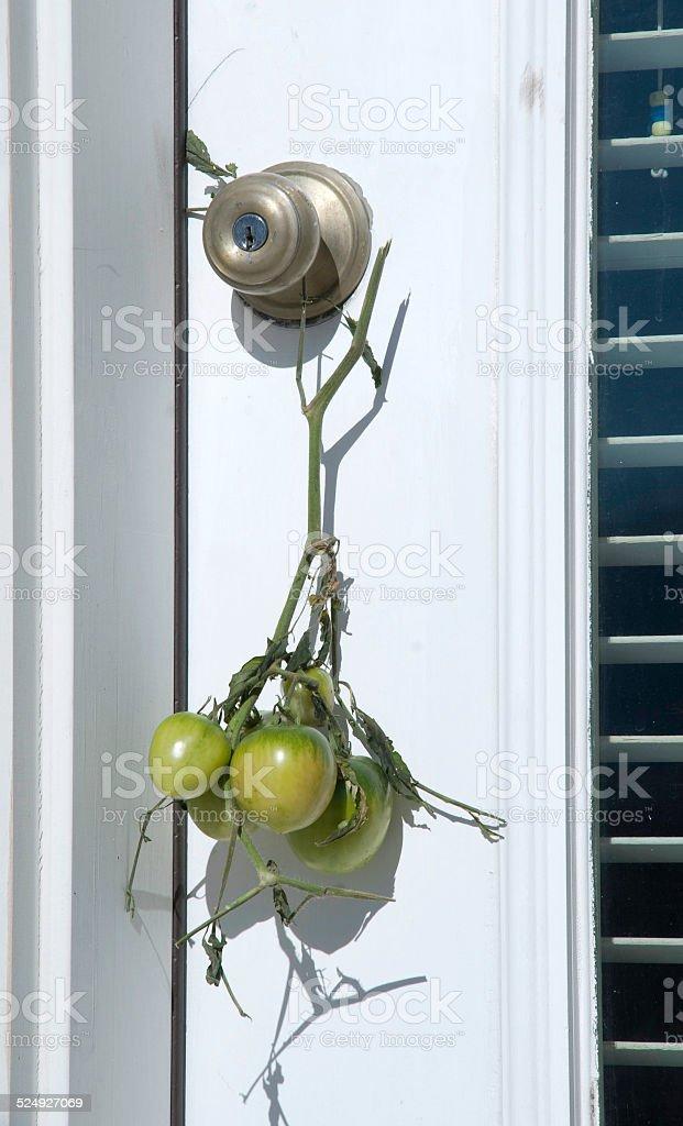 Tomate Verde maturação na Maçaneta de porta foto de stock royalty-free