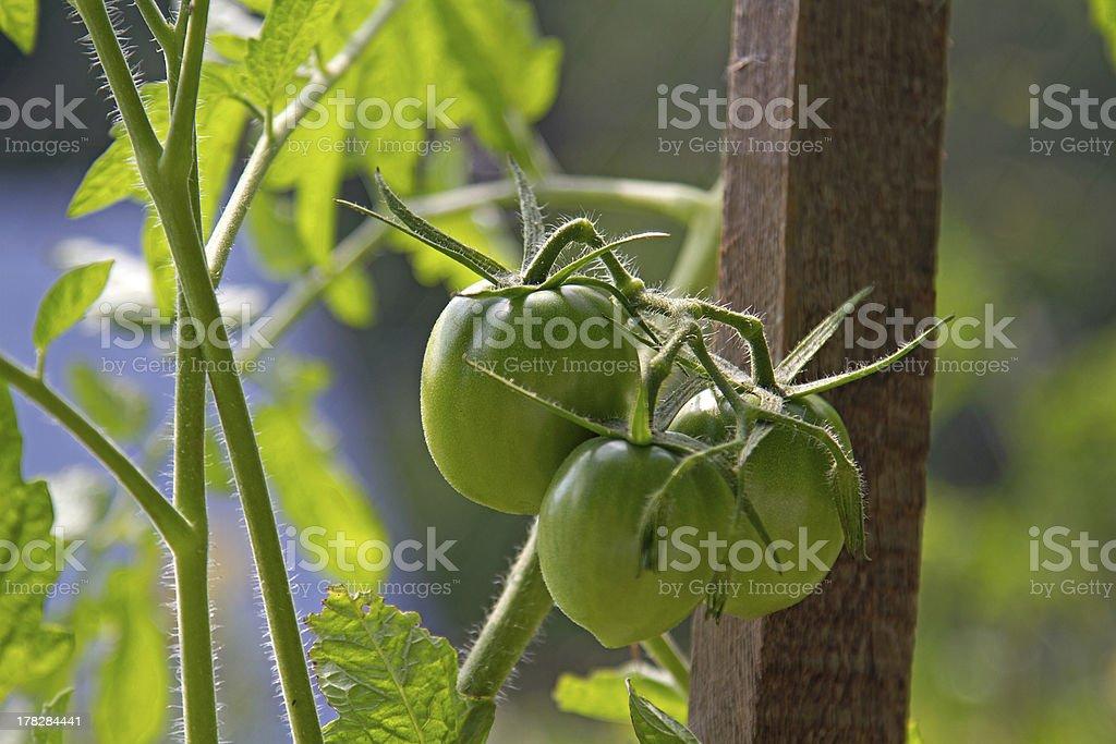 green tomatos royalty-free stock photo