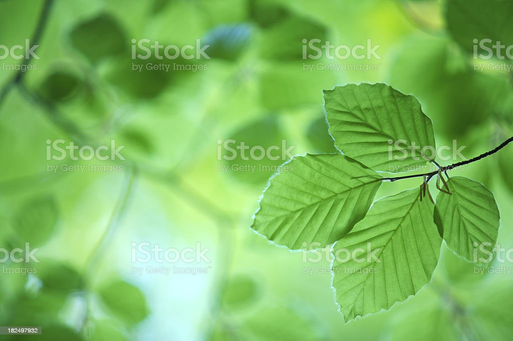 Green translucent beech leaves royalty-free stock photo