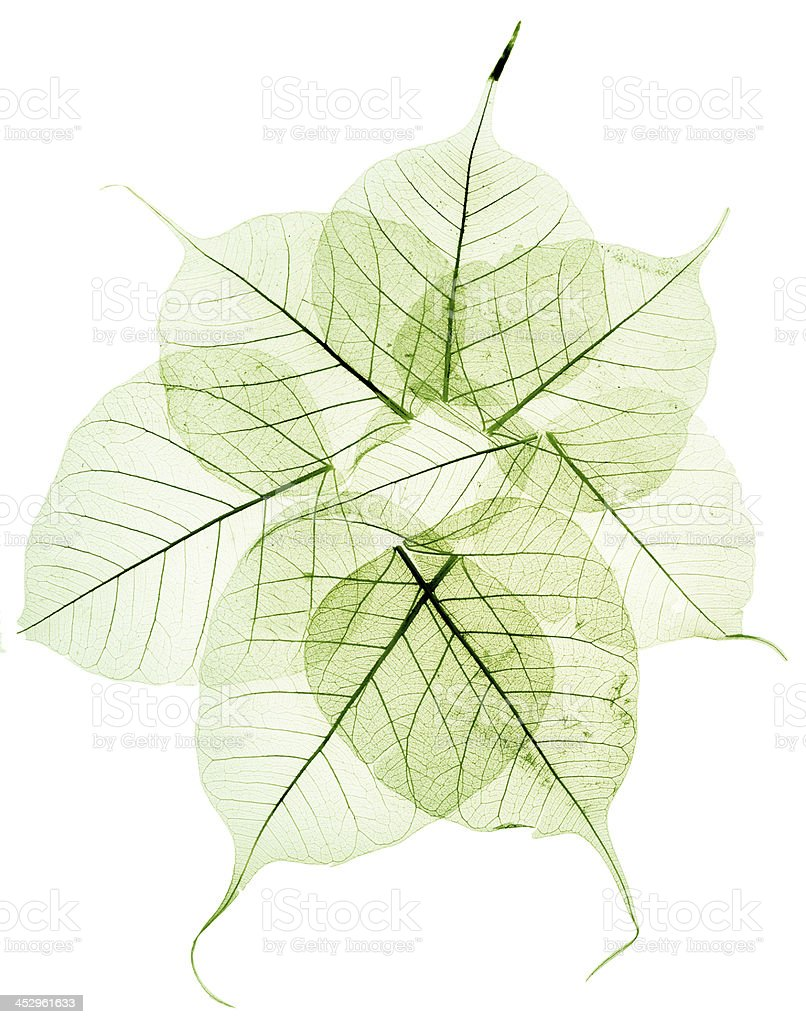 green transparent dried fall leaves stock photo