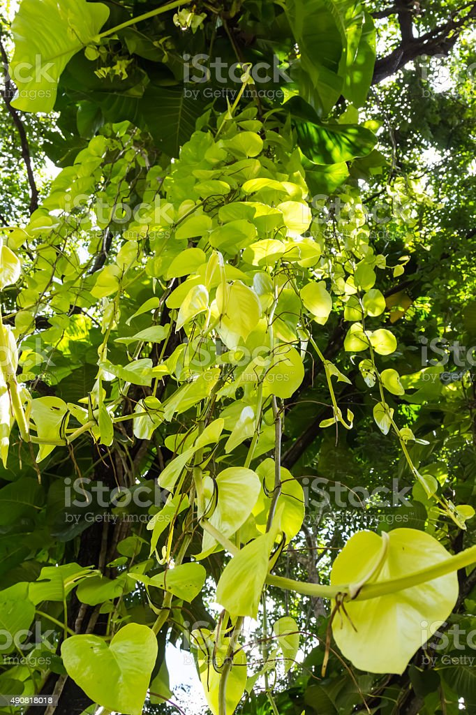 green tree and creeper stock photo