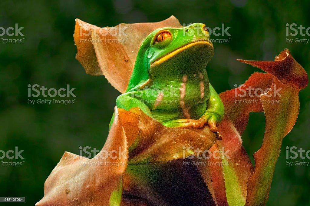 Green Tree Frog inside bromeliad leaf stock photo