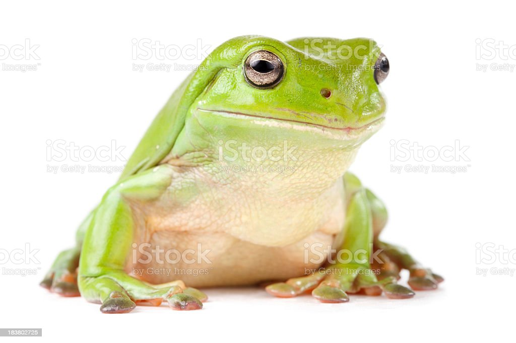 Green tree frog looking to the side stock photo