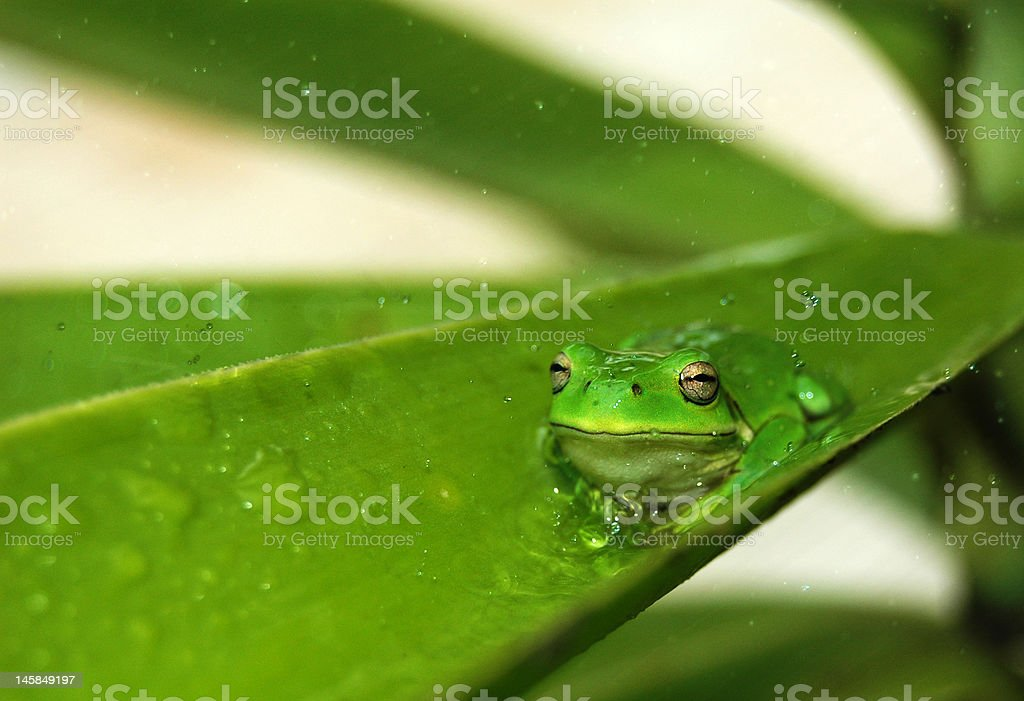 Green Tree Frog on a leaf stock photo