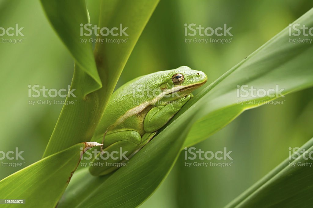 Green tree frog on garden leaves royalty-free stock photo