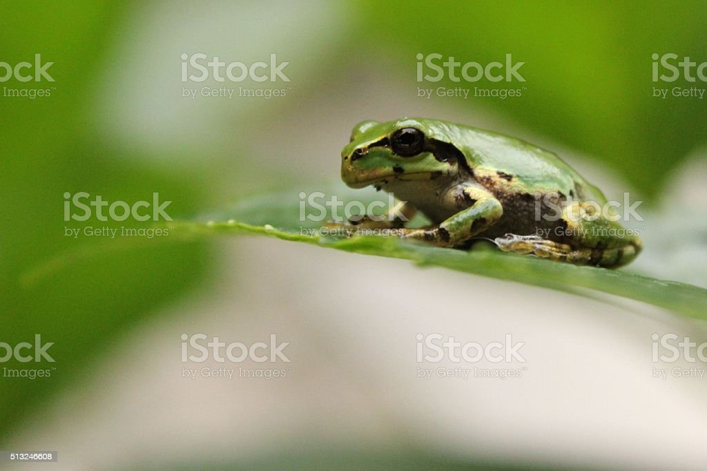 Green Tree Frog on Leaf stock photo