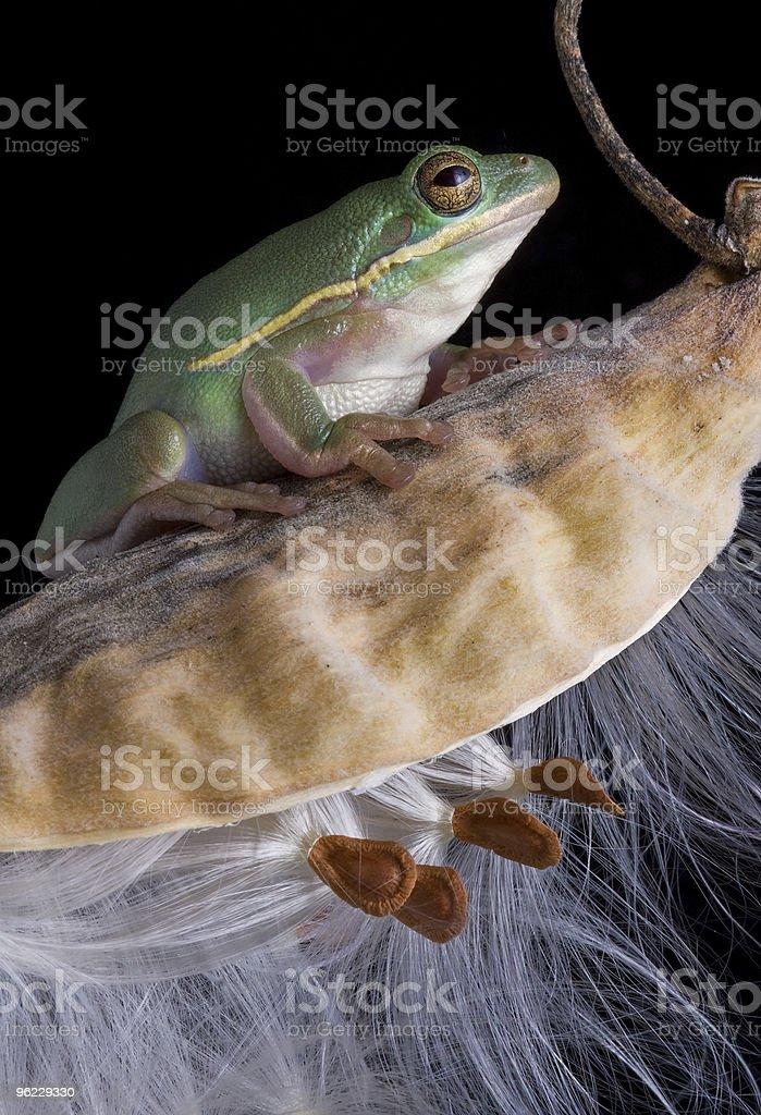 Green tree frog on milkweed stock photo