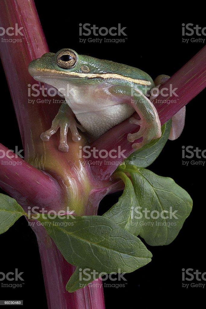 Green tree frog on pokeweed stock photo