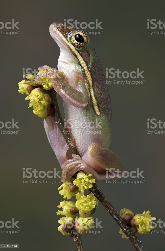 Green tree frog on spring plant. stock photo