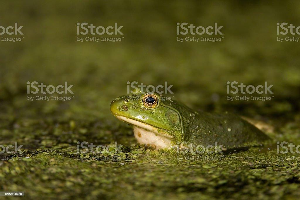 Green Tree FRog royalty-free stock photo