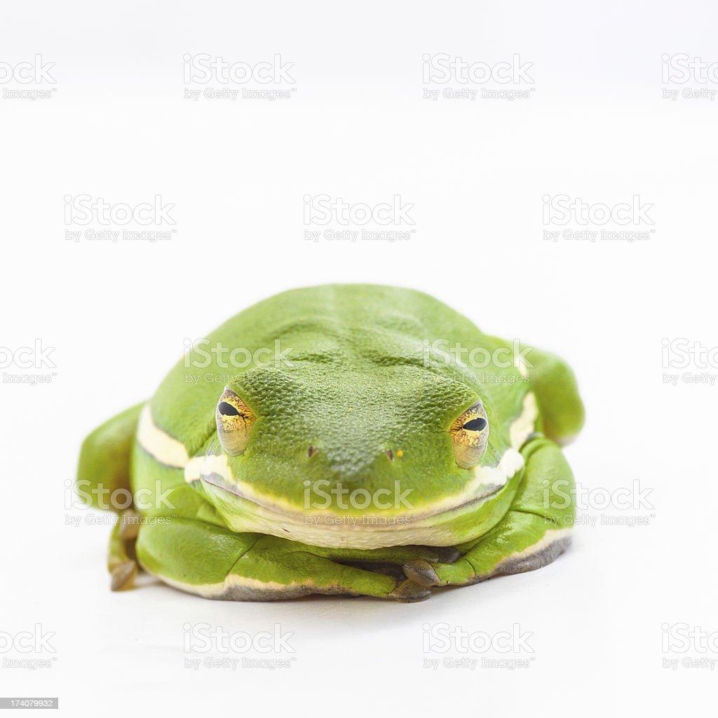 Green Tree Frog (Hyla cinerea) royalty-free stock photo