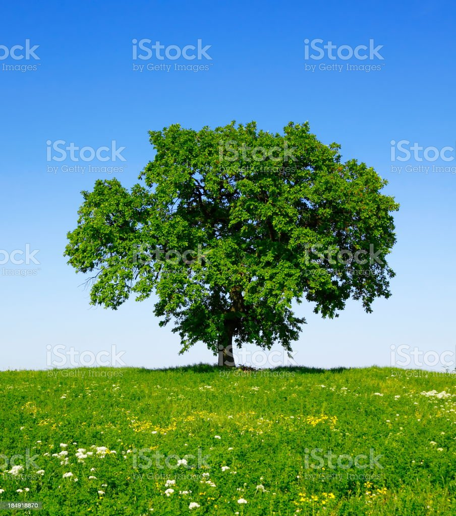Green Tree in Spring royalty-free stock photo