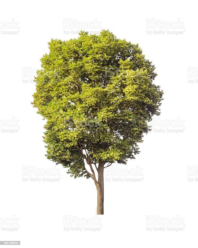 green tree isolated on white background with clipping path stock photo