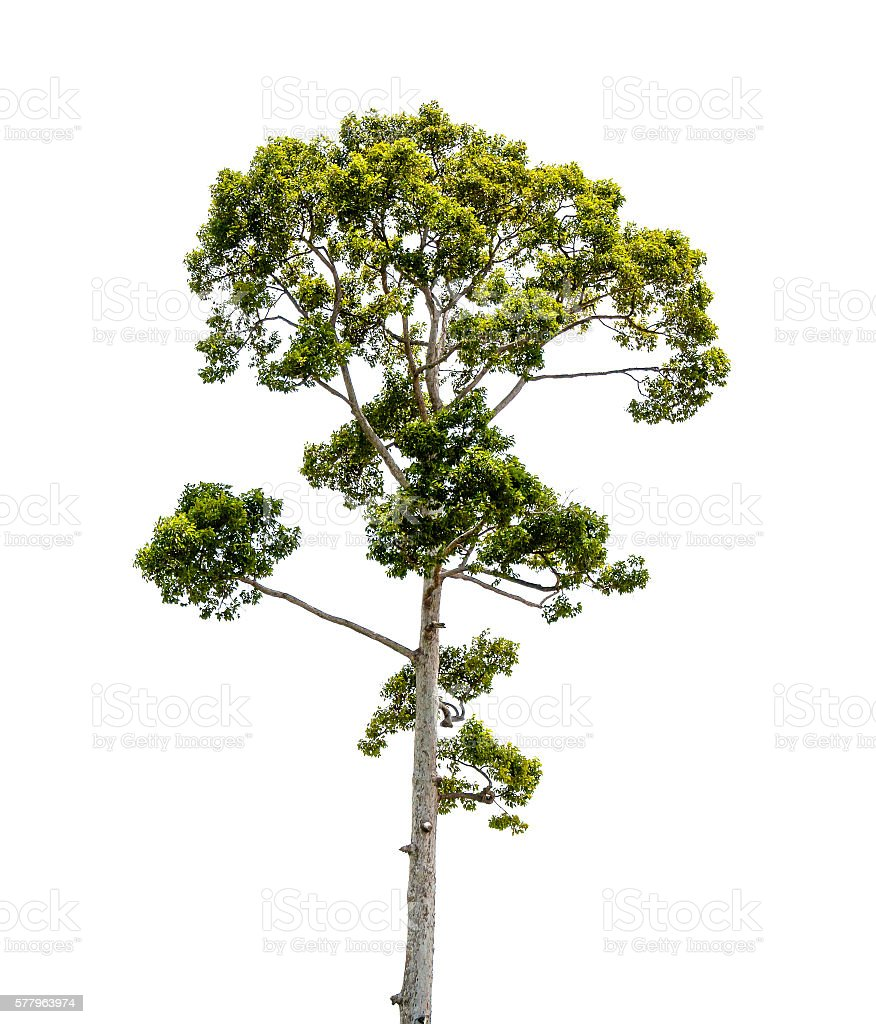 Green tree isolated on white backgroup stock photo