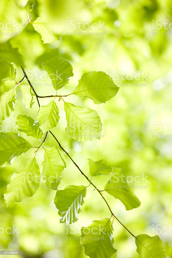 Green tree leaves in spring royalty-free stock photo