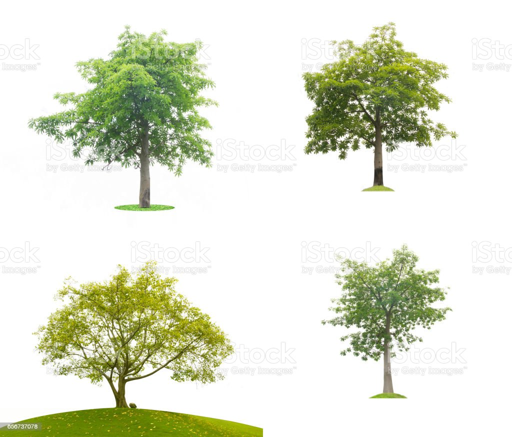 Green tree leaves isolated stock photo