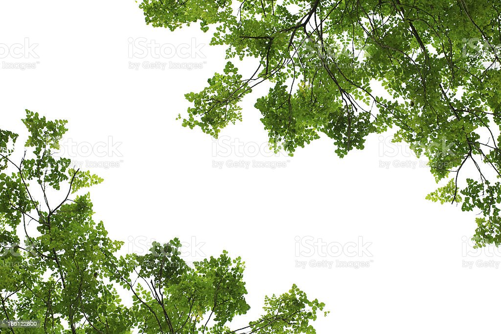 Green tree leaves on a white background stock photo