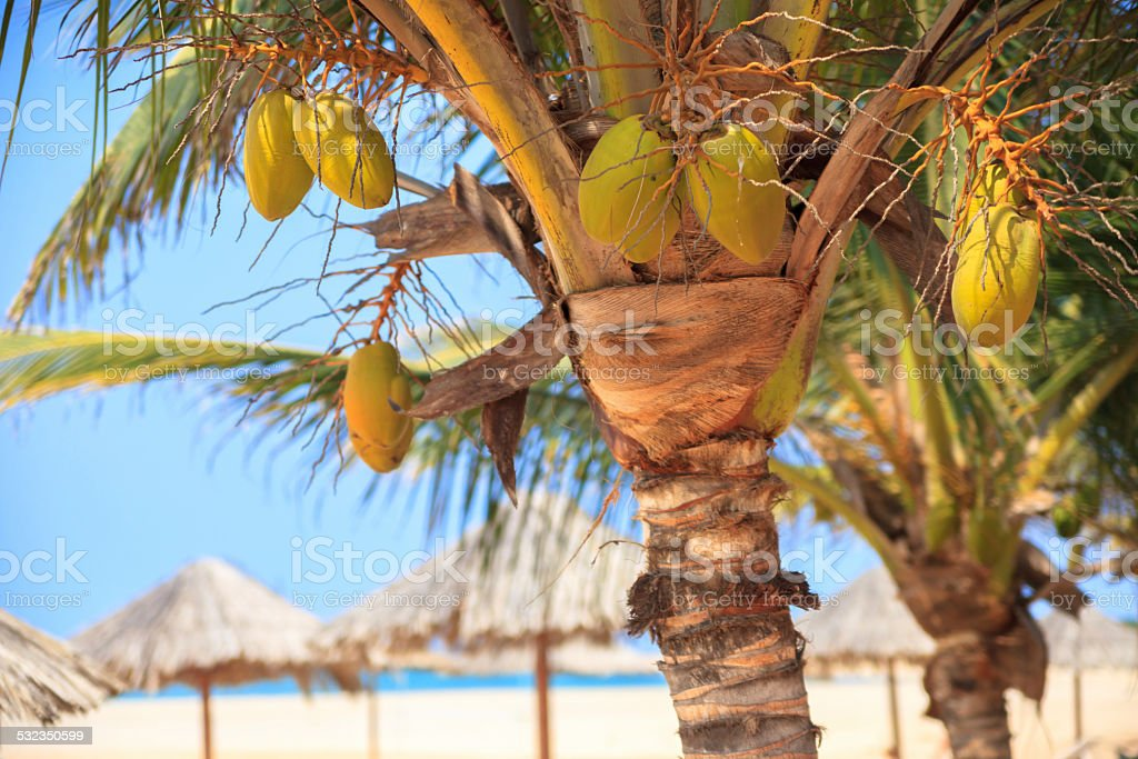 Green tree on a white sand beach - Cape Verde stock photo
