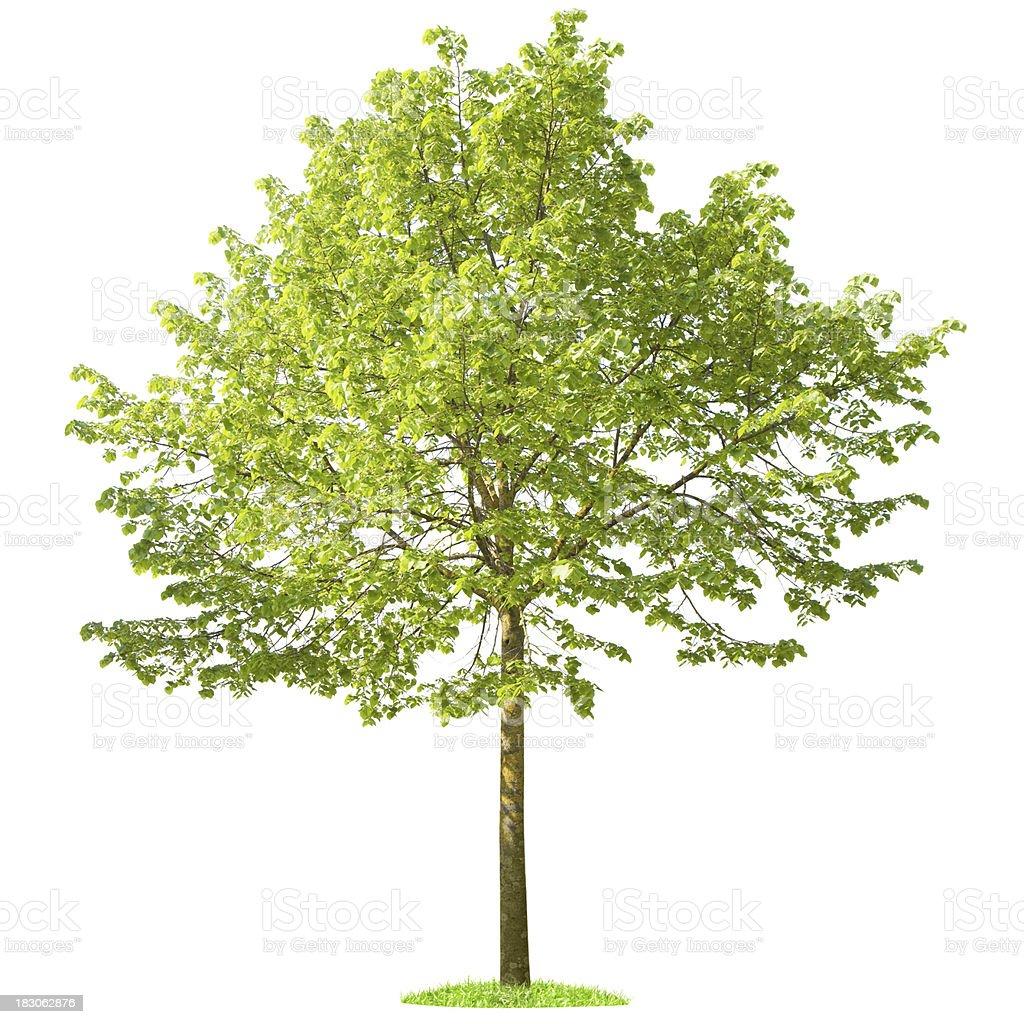 Green Tree on white background stock photo