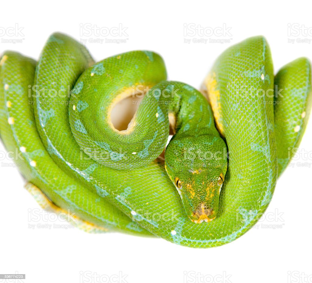 Green tree python, chondros isolated on  white stock photo