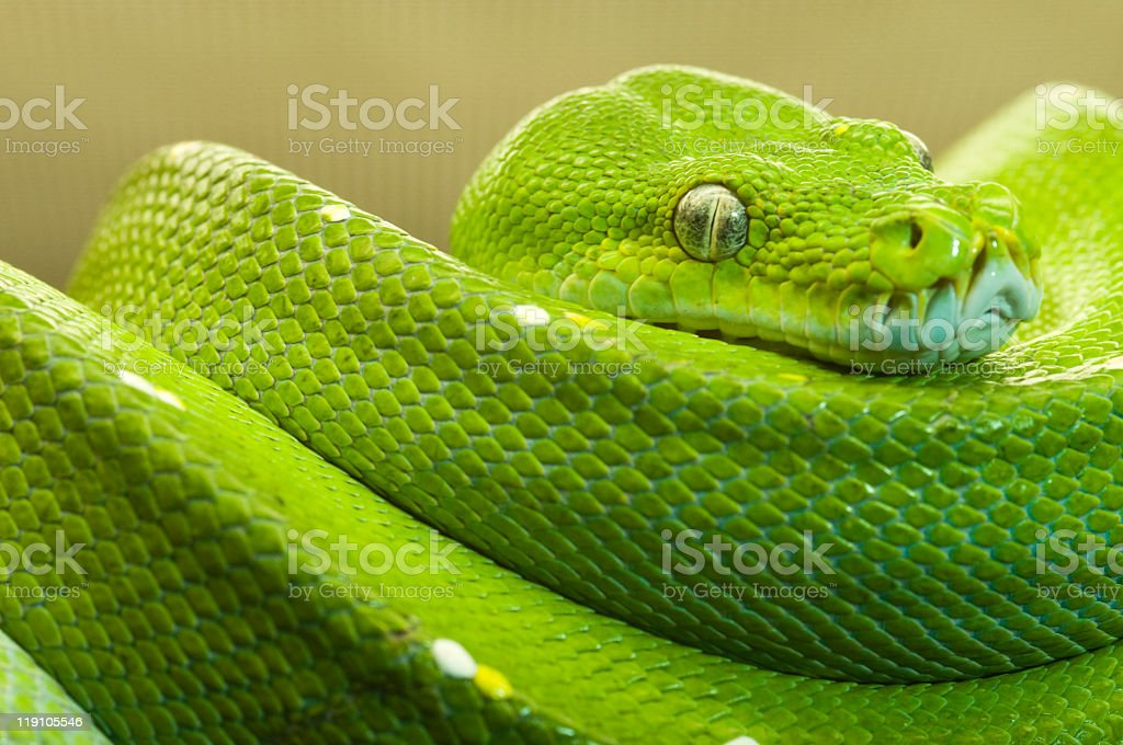green tree python clear stock photo