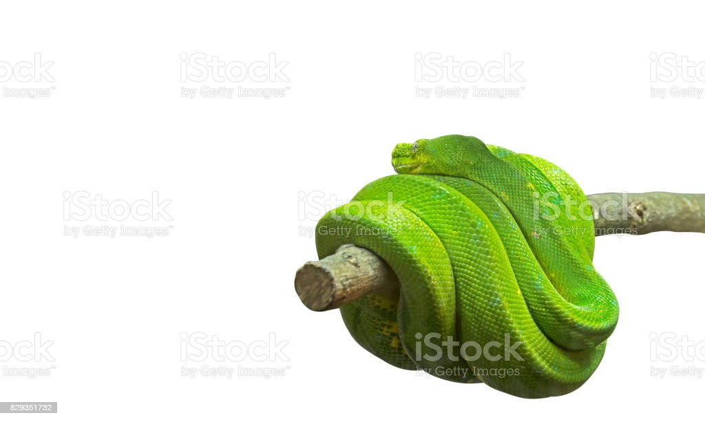 Green Tree Python Coiled Around a Branch on White Background, Clipping Path stock photo