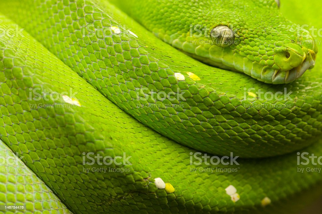 green tree python full stock photo
