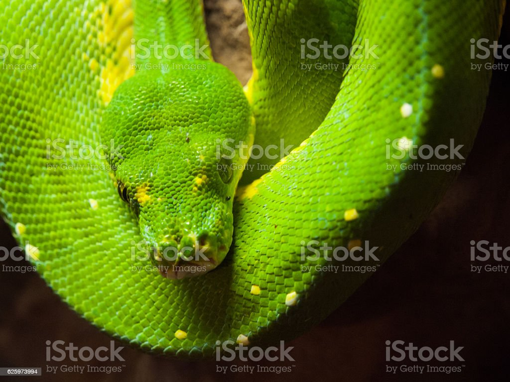Green tree python hanging on the branch stock photo