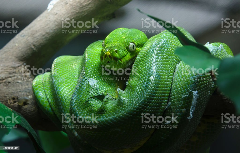 Green tree python in the zoo stock photo
