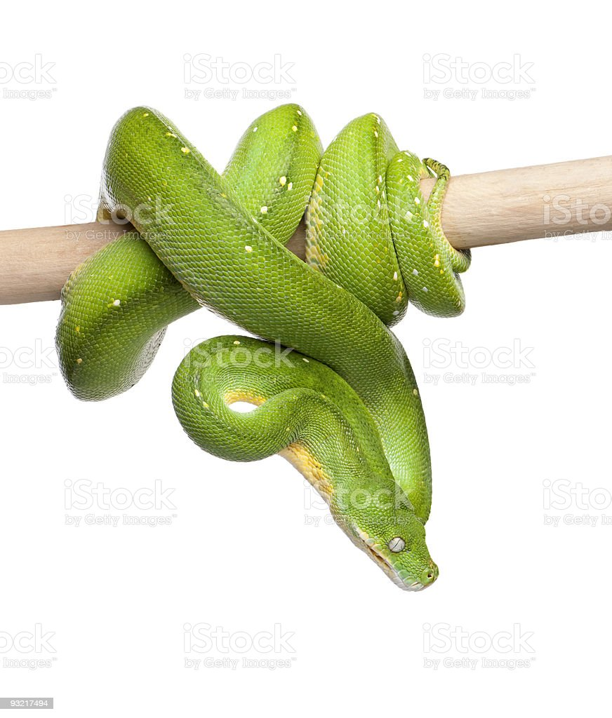 Green tree python looking down (5 years old) stock photo