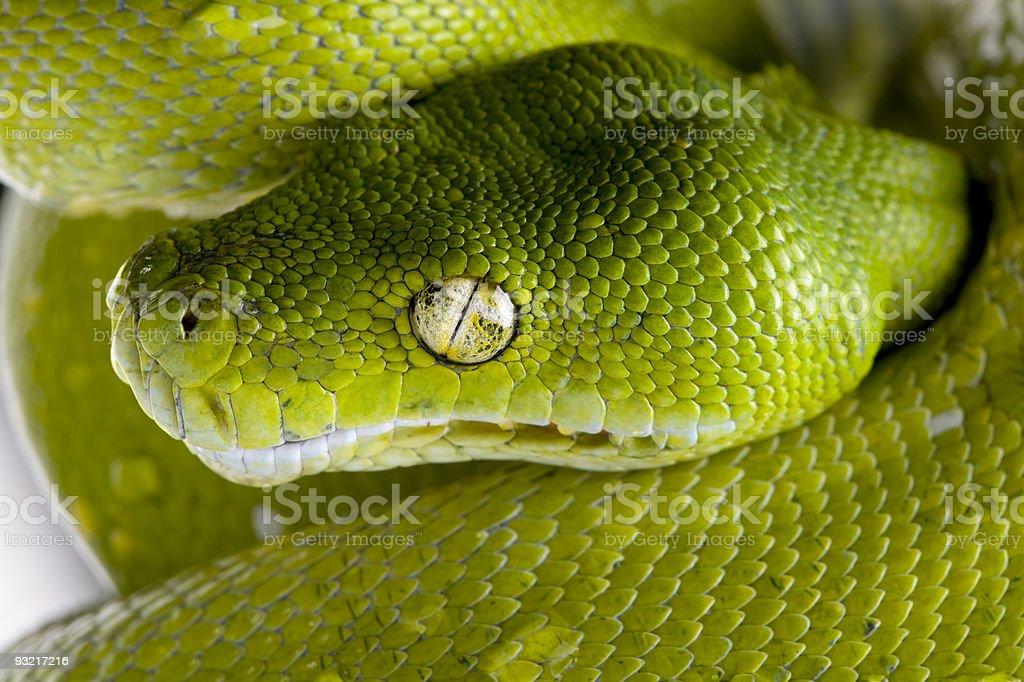 Green tree python - Morelia viridis (5 years old) royalty-free stock photo