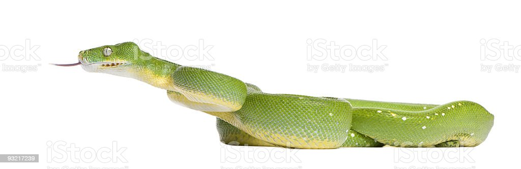 Green tree python - Morelia viridis (5 years old) stock photo