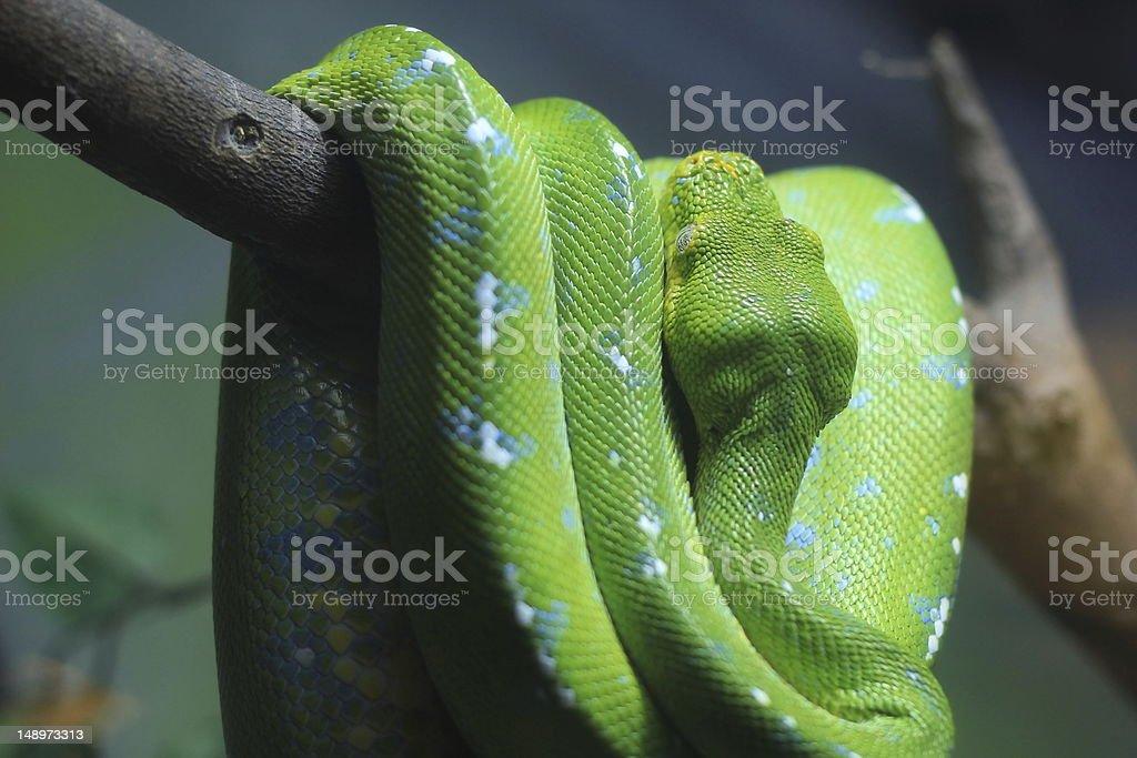 Green Tree Python (Chondropython viridis) royalty-free stock photo