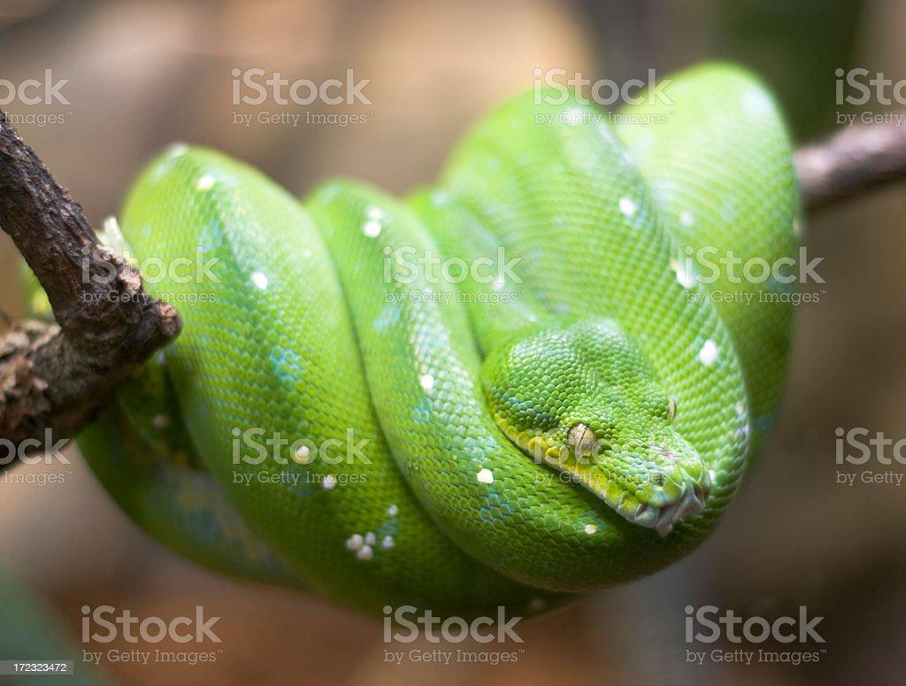 Green Tree Python royalty-free stock photo