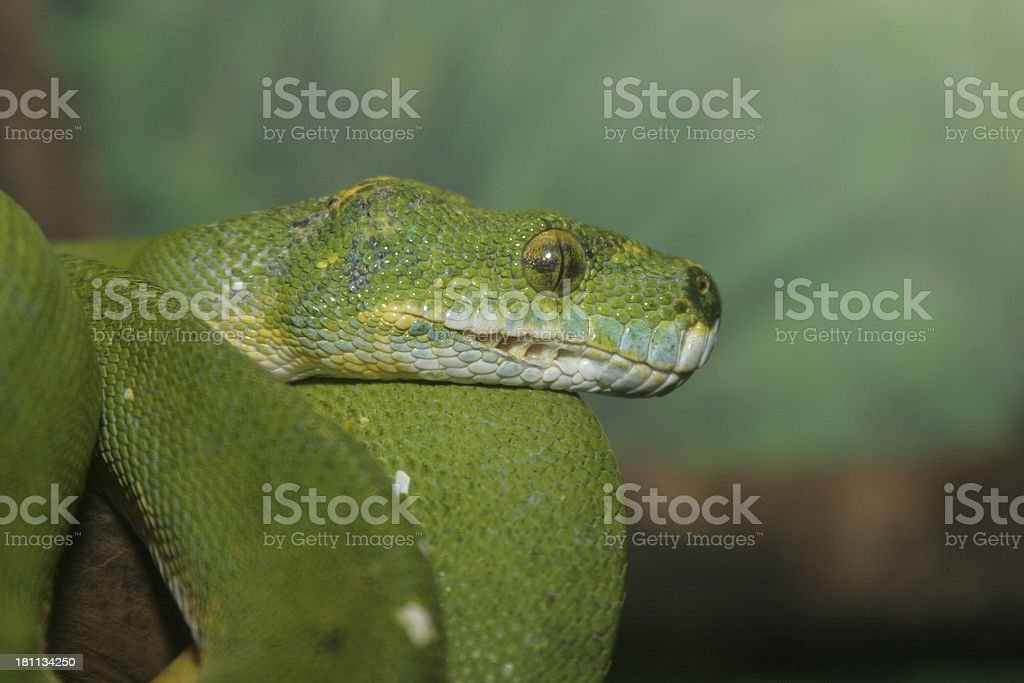 Green Tree Python stock photo