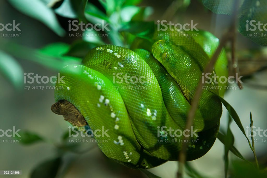 Green tree python (Morelia viridis). stock photo