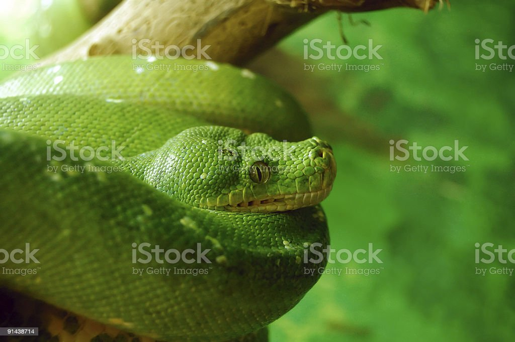 Green Tree Python (Morelia Viridis) stock photo