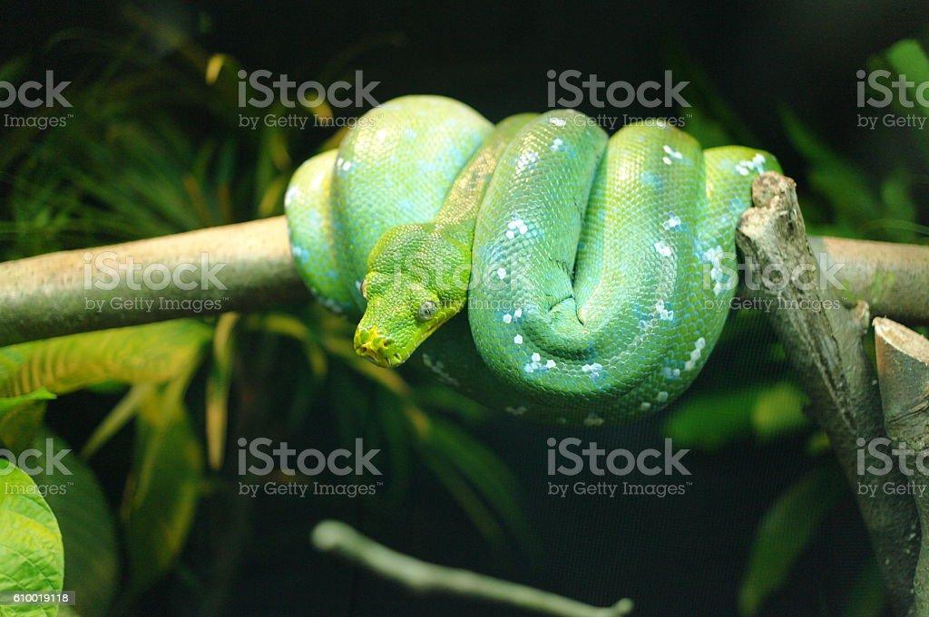 green tree pythons stock photo