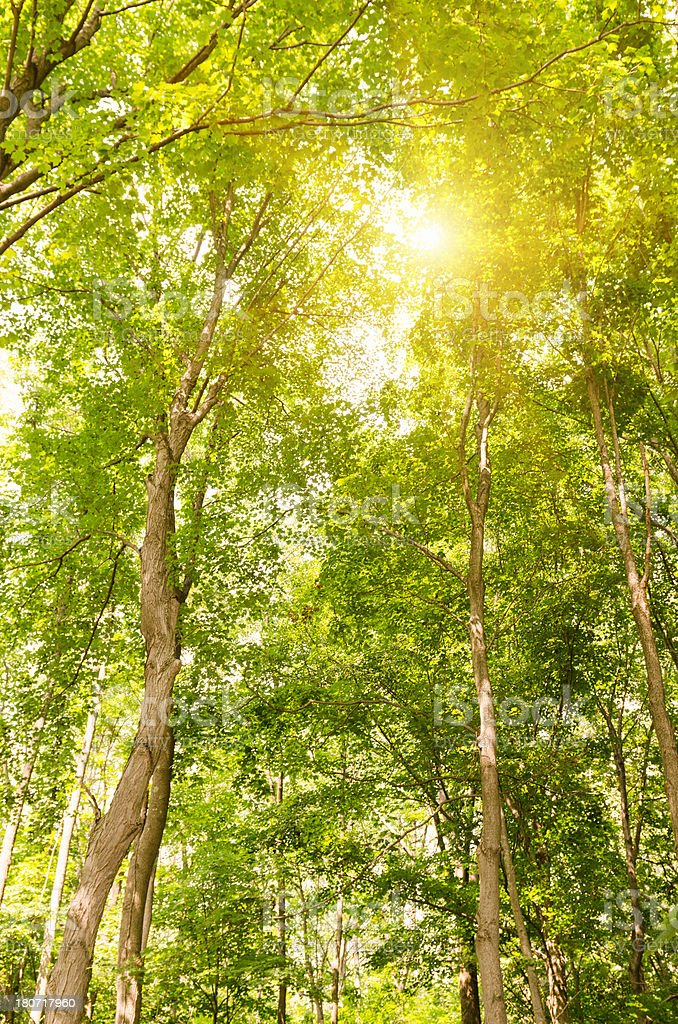 Green tree with sunlight royalty-free stock photo