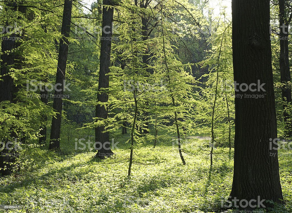 green trees in sunlight royalty-free stock photo