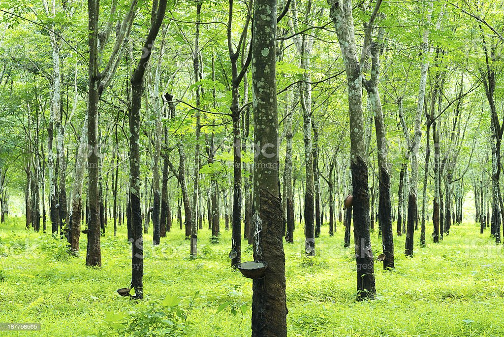 Green trees with narrow trunk in rubber plantation stock photo
