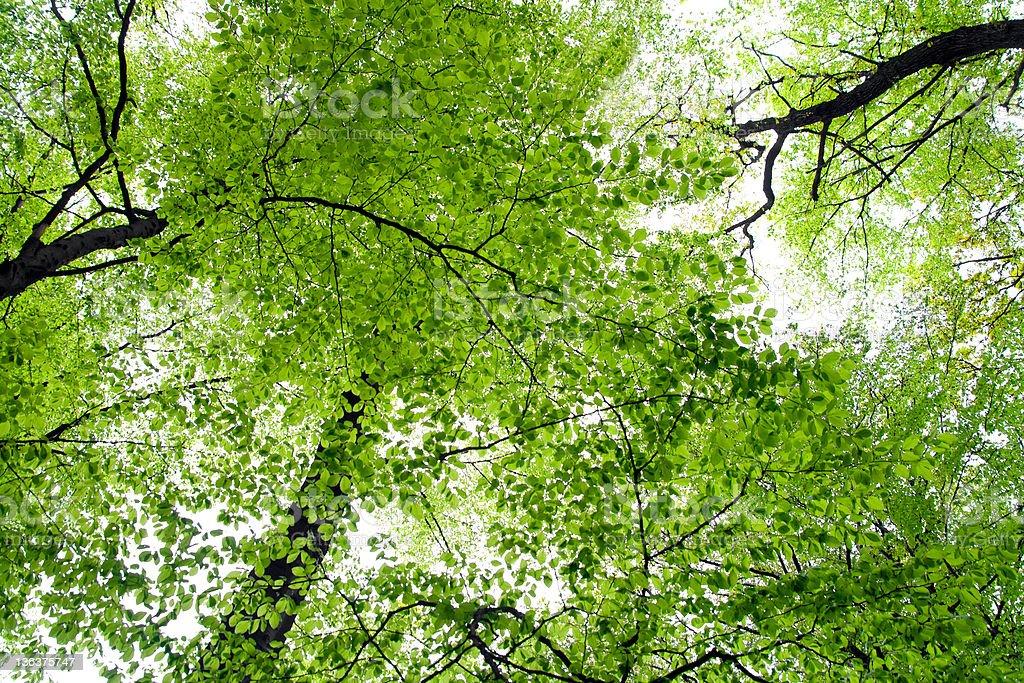 Green treetops royalty-free stock photo