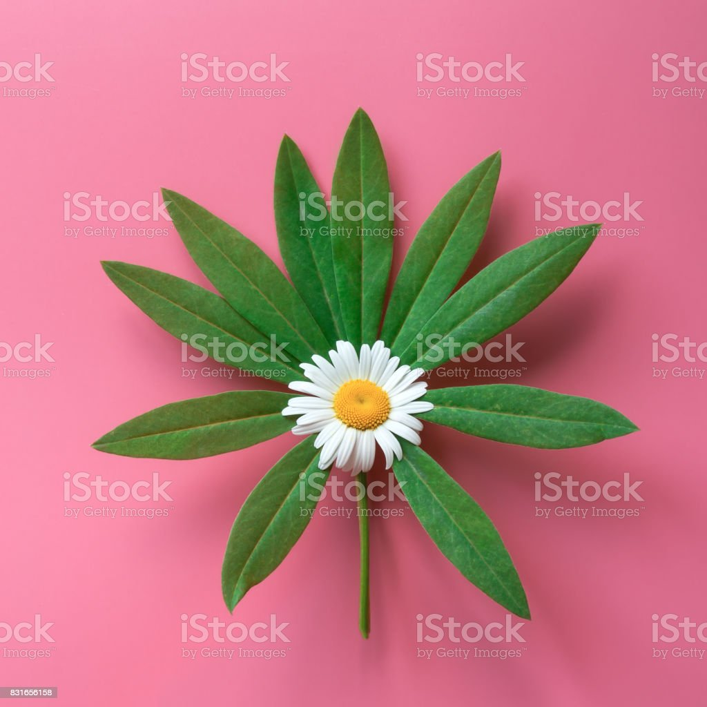 Green tropical leaf and chamomile flower mix. stock photo