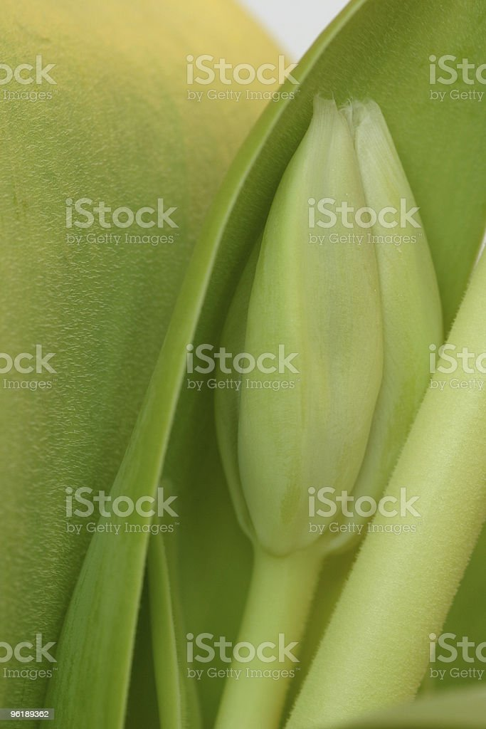 Green tulip bud with leaves royalty-free stock photo