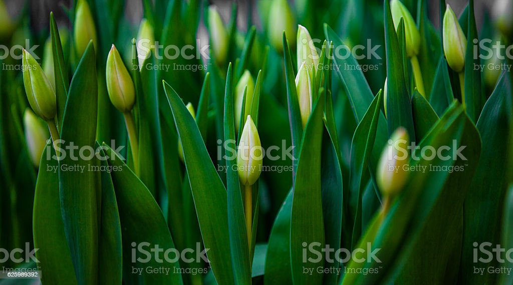Green tulip buds on nature stock photo