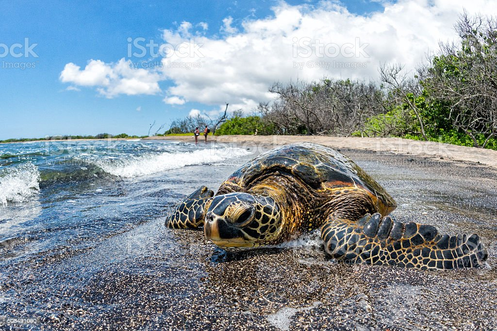 Green Turtle arriving at shore in Hawaii stock photo