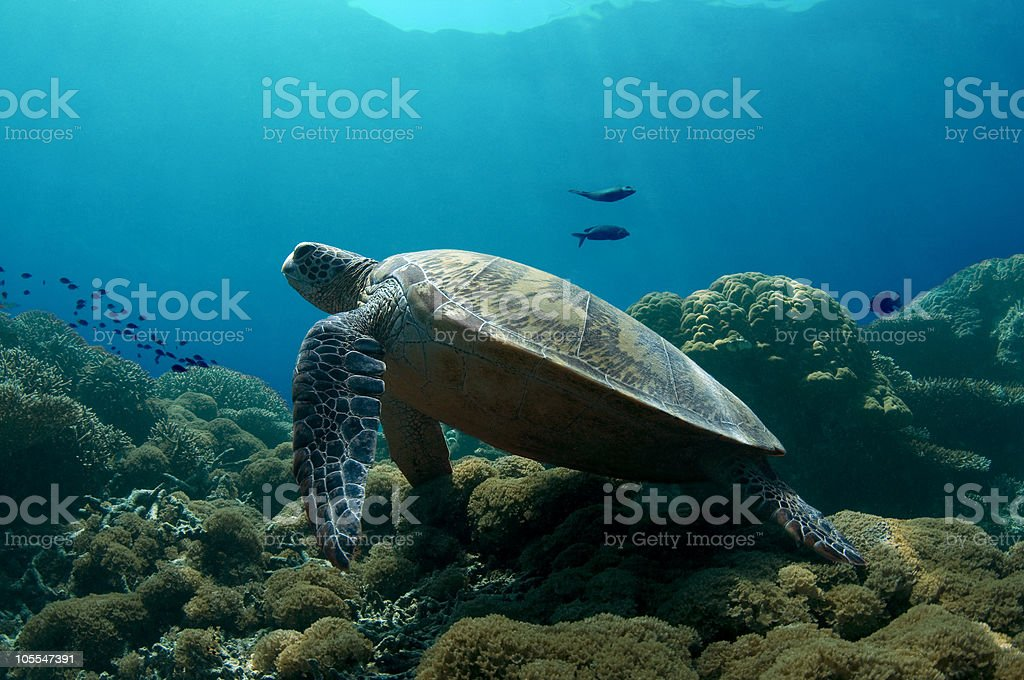 Green Turtle At Rest royalty-free stock photo